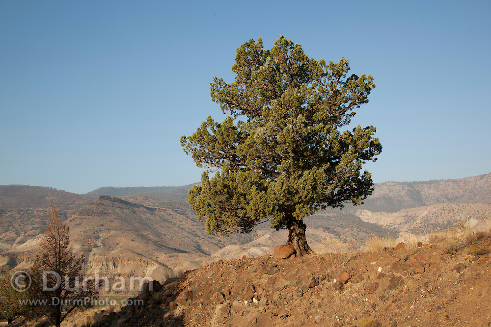 A western juniper tree (juniperus occidentalis), John Day Fossil Beds National Monument, Oregon.