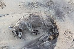 dead raccoon on the beach in Montauk, NY