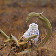 A Snowy Owl (Bubo scandiacus), framed by gnarled driftwood, rests along Boundary Bay in southern British Columbia, Canada. Normally found in the Arctic, Snowy Owls occasionally winter farther south when food is scarce or there is too much competition for food.