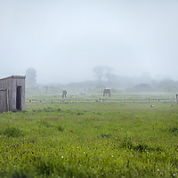Shed and horses on Bartlett's farm on Nantucket island.