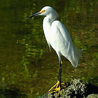 Wildlife bird photography of a Snowy Egret at the J. N. Ding Darling National Wildlife Refuge and Sanctuary on Sanibel Island in Southwest Florida.<br />