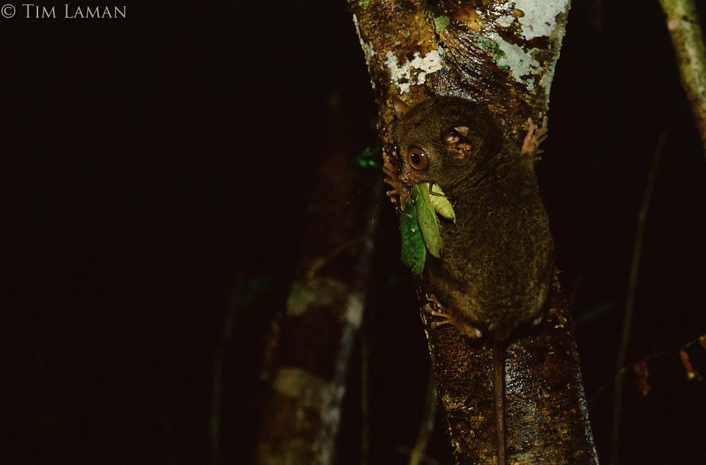 Philippine Tarsier (Tarsius syrichta) is endemic to the Philippines..Bohol Island, Philippines.  Nov 01