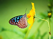 Blue butterfly on the island of Ko Lanta, Thailand.