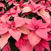 """Poinsettia 'Mars Pink'. The Poinsettia (Euphorbia pulcherrima) is indigenous to Mexico and Central America. This flowering plant is named after Joel Roberts Poinsett, the first United States Minister to Mexico, who introduced the plant into the US in 1828. The Aztecs used the plant to produce red dye and as an antipyretic medication. Today it is known in Mexico and Guatemala as """"Noche Buena"""", meaning Christmas Eve. In Spain its is known as """"Flor de Pascua"""", meaning Easter Flower. In both Chile and Peru, the plant became known as """"Crown of the Andes""""."""