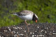Thinornis novaeseelandiae (Shore plover)
