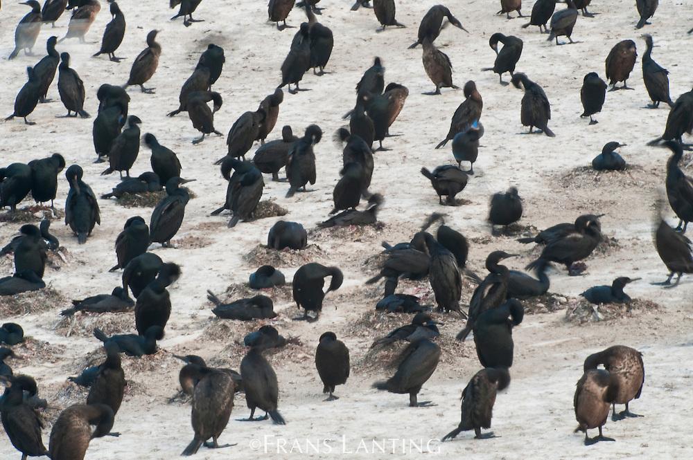 Brandt's cormorants, Phalacrocorax penicillatus, Año Nuevo Island, Monterey Bay, California