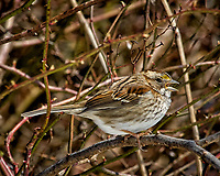 White-throated sparrow singing in the vines. Late winter backyard wildlife in New Jersey. Image taken with a Nikon D2xs camera and 80-400 mm VR lens (ISO 400, 400 mm, f/12, 1/500 sec).