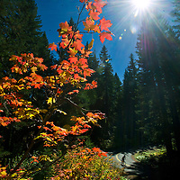 Mike Johnson, 55, of Sisters rides his bike past a bright section of leaves changing to their Fall colors along the Old McKenzie Pass Highway (state Highway 242) early Monday afternoon.