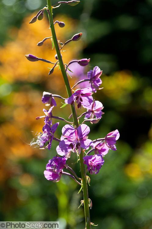 fireweed (Epilobium angustifolium), Washington, USA.