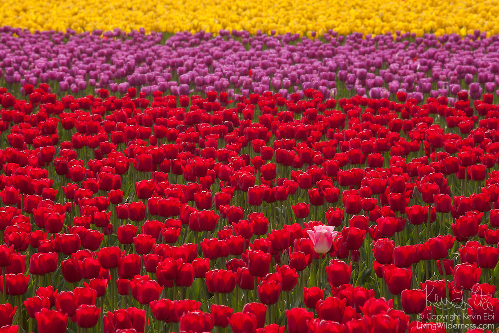 A single pink and white tulip stands in contrast to the otherwise perfect solid rows of colorful tulips at Roozengaarde, one of the major tulip gardens in the Skagit Valley of Washington state. Each year, more than a million people visit the area near Mount Vernon to check out 300 acres of cultivated tulips.
