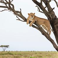 Tanzania, Ngorongoro Conservation Area, Ndutu Plains, Lioness (Panthera leo) rests on tree limb surveying savanna