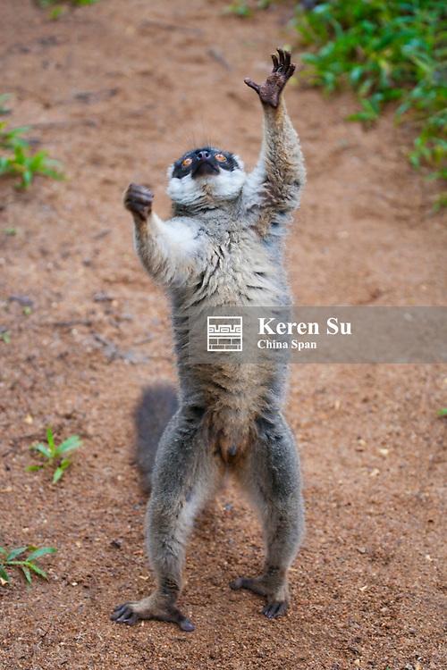Brown lemur (Eulemur fulvus) in the forest, Perinet Reserve, Madagascar