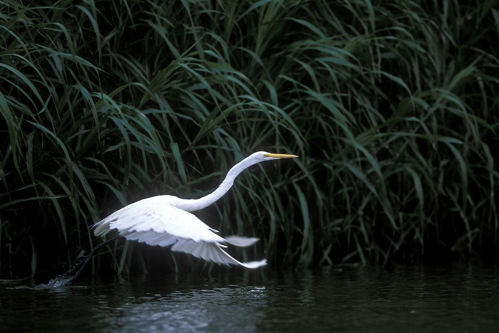 Costa Rica, Alajuela Province, Caño Negro National Park, Cattle Egret (Bubulcus ibis) along Río Frío