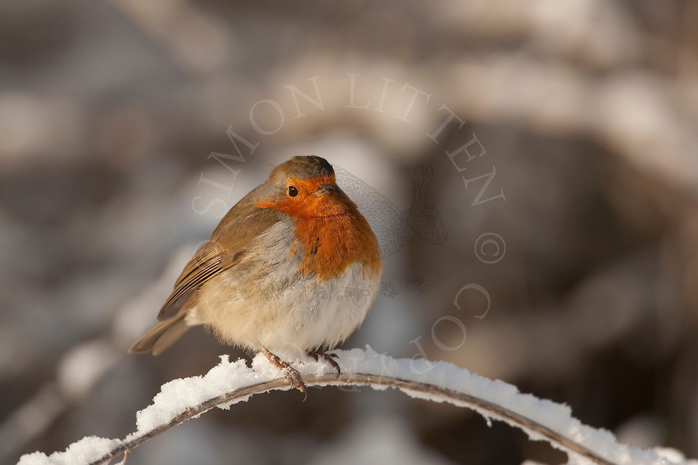 Robin (Erithacus Rubecula) adult, perched in snow, winter, UK.