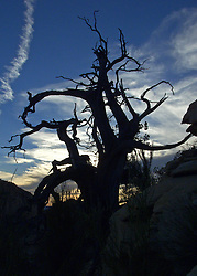 Gnarled juniper tree with some cool looking clouds at sunset.