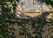 Large iguana sunning itself on a concrete wall.