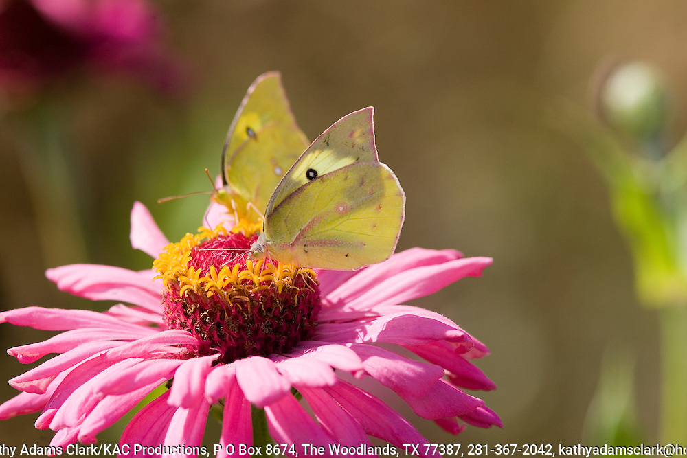 Southern dogface, Colias cesonia, butterfly on zinnia, Ft. Davis, Texas.