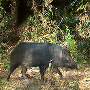A wild eurasian pig, sus scrofa, in Thap Lan National Park, Thailand. Picture is taken with an automatic camera trap.
