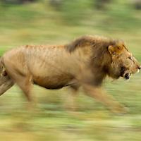 Tanzania, Ngorongoro Conservation Area, Ndutu Plains, Blurred image of Adult Male Lion (Panthera leo) pursuing rival across open savanna