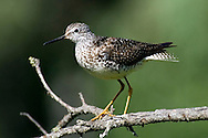 Profile of a Lesser Yellowlegs Sandpiper on an unusual perch.