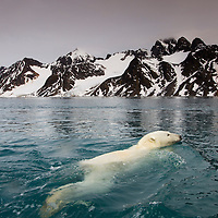 Norway, Svalbard, Spitsbergen Island, Polar Bear (Ursus maritimus) swimming in Fuglefjorden (Bird Fjord) on summer evening