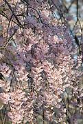Cherry Blossoms,Eden Park,Cincinnati,Ohio