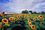Sunflowers RIverhead, NY