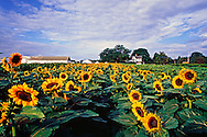 Sunflowers, New York, Riverhead, Roanoke Farm,North Fork