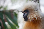 Gee's golden langur (Trachypithecus geei), or simply the golden langur, is found in a small region of western Assam, India and in the neighboring foothills of the Black Mountains of Bhutan.  One of the most endangered primate species of India, in 2001, the total Indian population was estimated at 1,064 individuals, in 130 groups. This individual was photographed on Umananda Island near Guwahati on the Brahmputra River, where there is a colony of about 20.