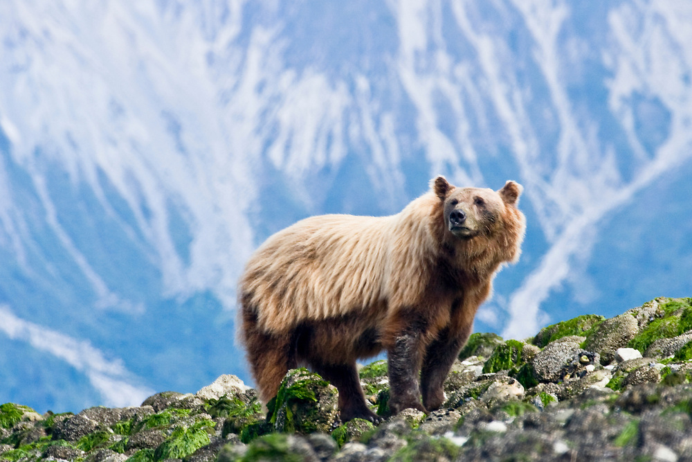 A majestic brown bear look off in the distance as he pauses in the intertidal zone in Glacier Bay.