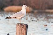 Misc. Gulls