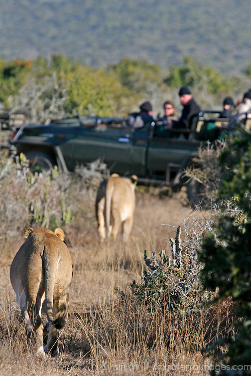 Africa, South Africa, Kwandwe. Two female lions approach safari vehicle at Kwandwe.