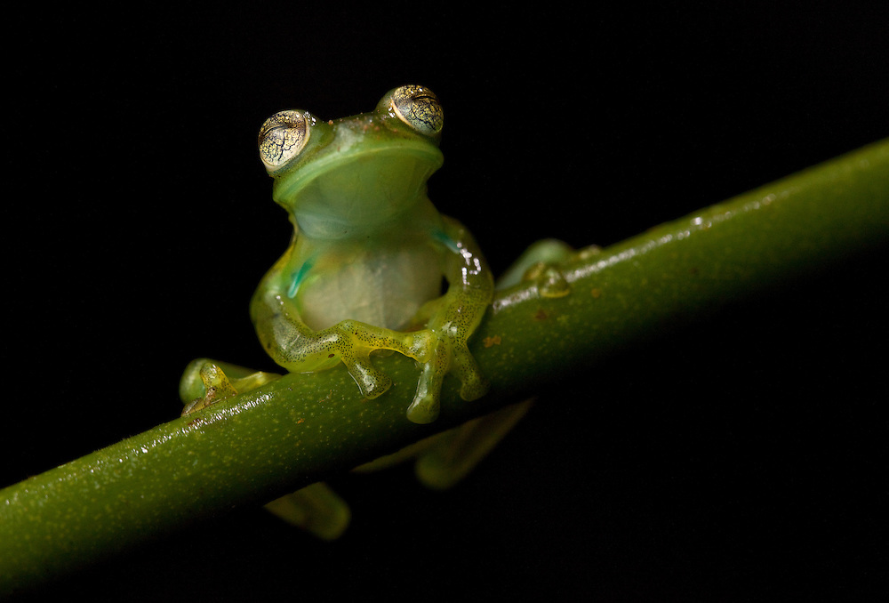 Nicaragua Giant Glass Frog, Centrolene prosoblepon, with blue spikes under the arms that are used by males during fighting, in the Chocó Department of Colombia