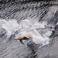 New Zealand, South Island, Doubtful Sound, Bottlenose Dolphin (Tursiops truncatus) porpoising in boat wake in early morning