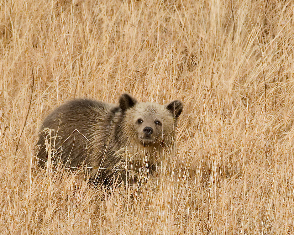During fall, grizzly bears, including this cub-of-the-year, develop thick winter coats. Although grizzlies usually hibernate from November through April, they often wait for a major snowstorm before entering their den, with their coat insulating them against frigid temperatures before and during hibernation.