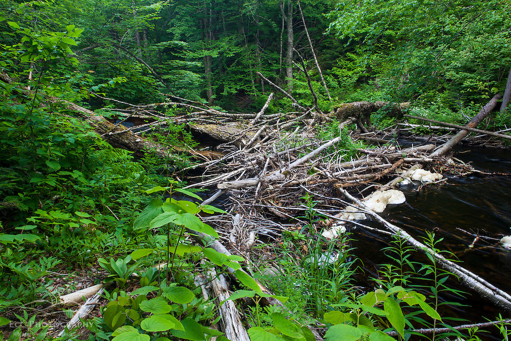 A fallen tree provides brook trout habitat in Cold Stream in Maine's Northern Forest. Cold Stream Gorge. Johnson Mountain Township.