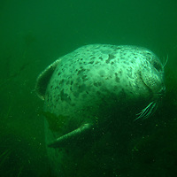 Harbor Seal, Seattle, WA