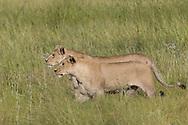 Two African lions, Duba Plains, Botswana