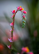 A striking bloom on the tender succulent Echeveria x imbricata. (Mike Siegel/The Seattle Times)