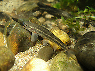 Speckled Dace<br /> <br /> Todd Pearsosn/Engbretson Underwater Photography