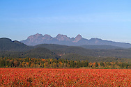 The Golden Ears (Mount Blandshard) above the red fall foliage leaves of a Blueberry field in Pitt Meadows, British Columbia, Canada
