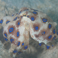 Blue Ringed Octopus, Hapalochlaena lunulata, Feeding on crab, Sapi Island, TARP, Sabah, Borneo, Malaysia