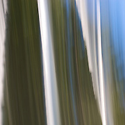#5 Aspens, Summer #3 Motion