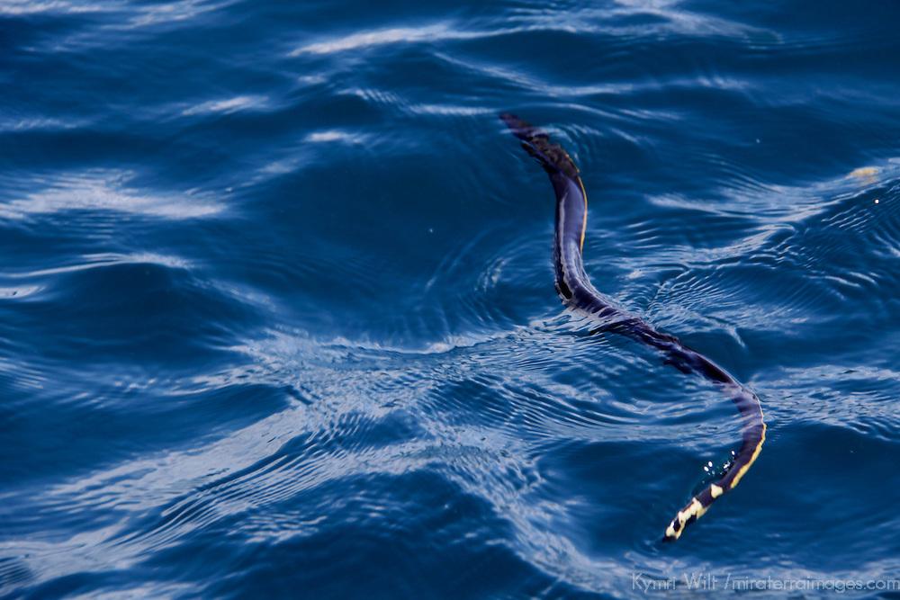 Central America, Costa Rica, Tamarindo. Sea Snake.