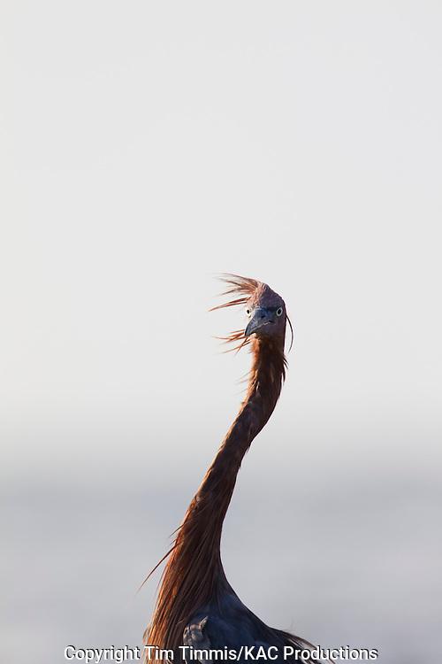 Reddish Egret, Egretta rufescens, Bolivar Flats, Texas gulf coast, head shot portrait, ruffled feathers on a windy day