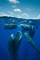 Split image of a group of sperm whales (Physeter macrocephalus) rubbing up against each other while socializing.  echeng100130_0249312<br /> <br /> Canon EOS-5D Mark II, Tokina 17mm f3.5 lens, Seacam underwater housing<br /> <br /> 1/500s @ F/8, ISO 400