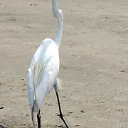 Great Egret walking on a Jekyll Island Beach