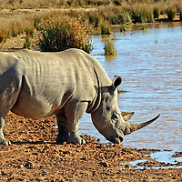Africa, South Africa, Kwandwe. Southern White Rhino at watering hole in Kwandwe Game Reserve.
