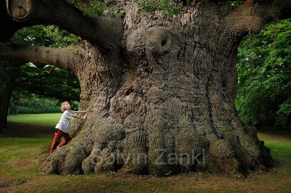 """Stieleiche (Quercus robur) im Fredville Park in Nonington (Grafschaft Kent, England). Der Baum hat einen Stammumfang von 12 Metern und gehört damit zu den eindruckvollsten Eichen Großbritanniens. Er steht auf einem privaten Grundstück und wird von den Anwohnern """"Majesty"""" (Majestät) genannt. Das Alter des Baumes wird auf 600 bis 1000 Jahre geschätzt."""