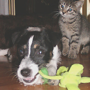 animals, canine, feline, cats, dogs, lizards, birds, frogs, fish, pedigree, Jack Russel, Toy Fox Terrier, Dalmations, tabby cats, alley cats